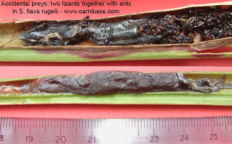 plante carnivore digestion